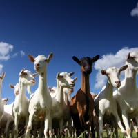 澳洲GoatSoap山羊奶皂手工皂系列