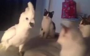 大葵鹦鹉成精了,还学猫炸毛呲气,喵了个猫的…你就演爸!