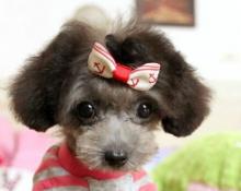 泰迪犬在家乱咬东西,如何拯救我家里的东西?