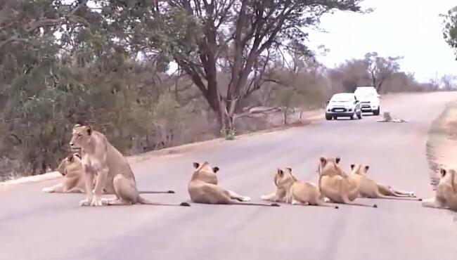 狮子:此地是我开,此树是我栽,要想过此路,留下两头牛!