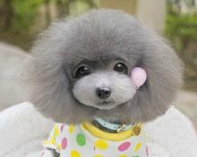 对泰迪犬大小便训练一些思考