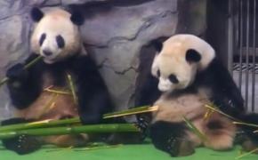 熊猫是不是都是吃竹子的时候,互相戳死的所以成了一级保护动物