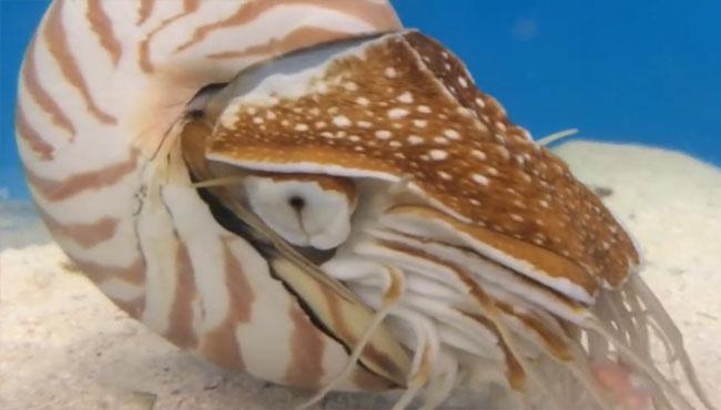 价值十万美金的鹦鹉螺 瞧瞧它是如何吃饭的