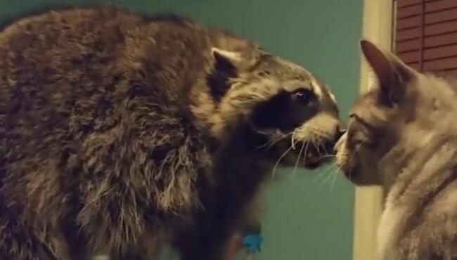 浣熊干脆面君,羞答答的想吸猫,猫不动如山,可放胆一试