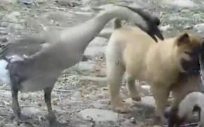 初生小狗不怕鹅,农村有三霸:黄狗,白鹅,红公鸡