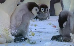 企鹅爸爸:敢欺负我家宝贝,看腻敢欺负我宝宝,啄死你!