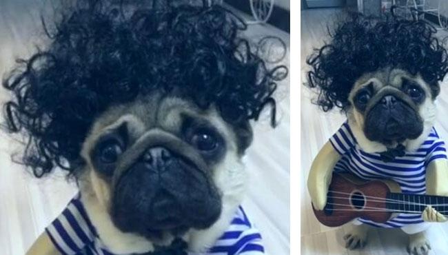 好潮的巴哥犬,弹起吉他,好深情!一脸忧愁的巴哥犬,你在愁啥?