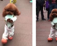 泰迪犬越来越有人的模样了,都快不会用四脚走路了