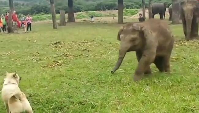 小象好气啊,抓起地上的草扔狗狗,谁还不是个宝宝,你让我打一下