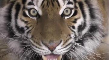 全世界最美的猫科,这个老虎虚张声势罢了,看我进去扌