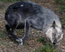 狗和狼99.96%的基因完全相同 泰迪犬跟狼真有关系么?