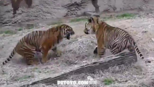 两虎相争,贼鸡恐怖,盘点老虎打架视频