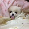 泰迪犬 英系博美犬 洗澡不能经常使用宠物洗发液,对吗?