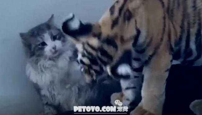 猫星人是连小老虎都怕啊,又萌又可爱的小老虎们,忍不住抱着亲亲