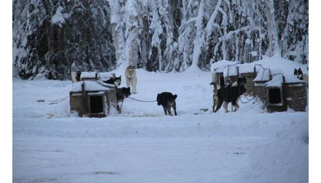"""阿拉斯加大森林 还原哈士奇真实面目 雪橇三傻,俗称""""二哈"""""""