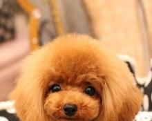 泰迪犬小狗到新家第一周,我不在家时,要怎么做?