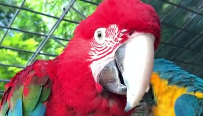 金刚鹦鹉寿命超级长,这东西养好了可以当遗产,你挂了他还健在