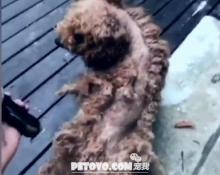 给泰迪犬这样剪毛还是第一次见,论狗毛的重要性,我变秃了