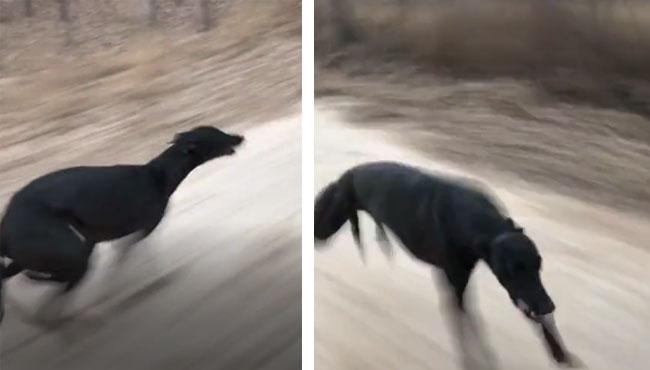 养只灵缇是一种什么样的体验?这速度遛狗,我跟不上啊!