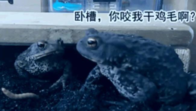 青蛙饿极了,看到虫子急了,大青蛙:卧槽,你咬干鸡毛啊?