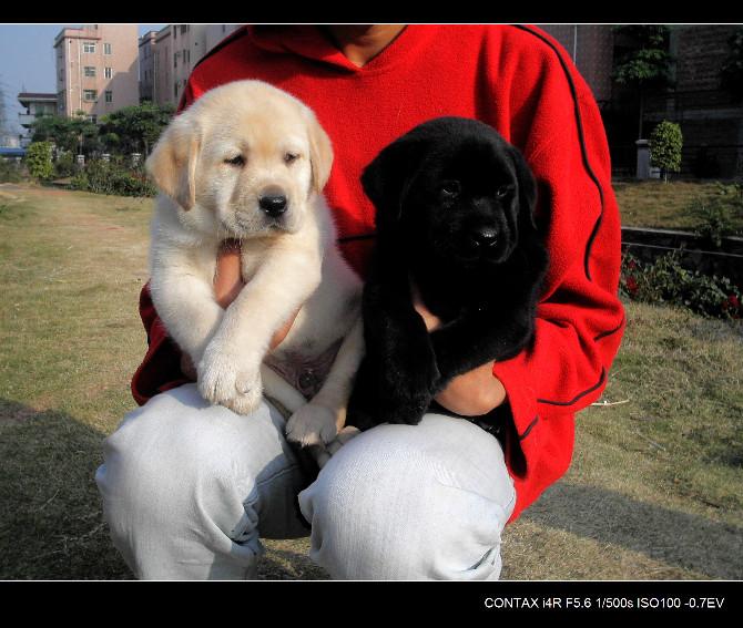 导盲犬小Q拉拉,纯种可爱 221.jpg