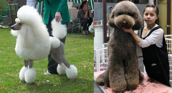 泰迪/来看看传统的泰迪犬美容造型模样