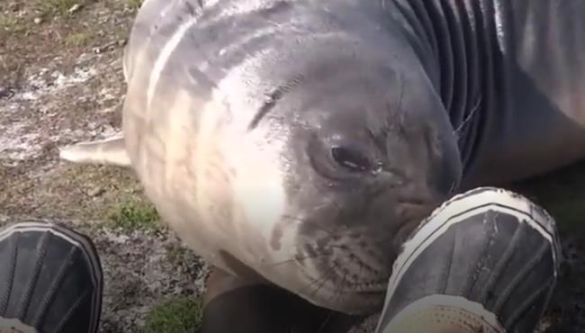 摄影师估计有脚气,海狮这不是懒得路都不想走了么 17072612.jpg