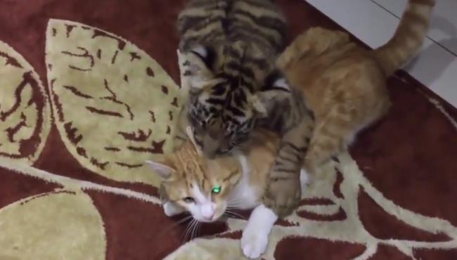 小老虎:我放下身段和你玩,你感动么。猫咪:不敢动,不敢动… 170807121.jpg