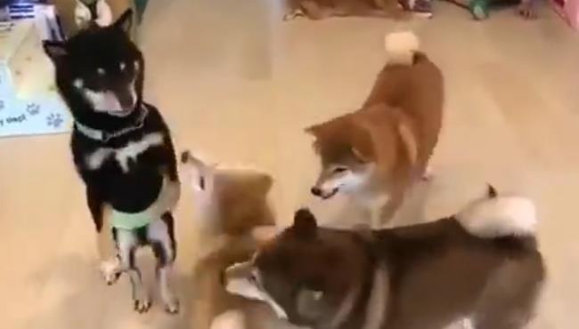 来,让你们看看!柴犬,无敌风骚的走位! 17080911.jpg