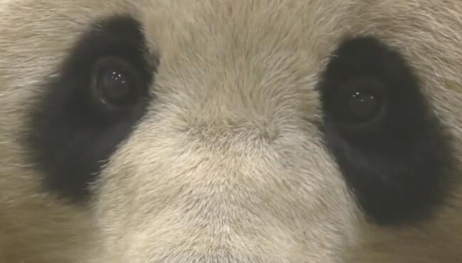 和熊猫对视20秒,终于看清楚眼珠子,眼影画的太浓了! 3.jpg