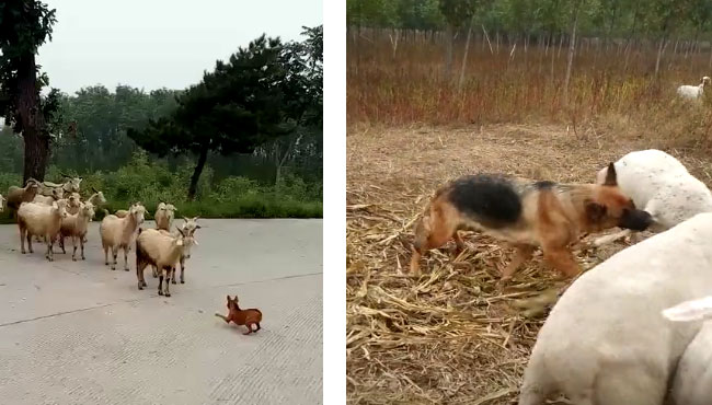 羊:这也是管我们的牧羊犬吗?我们越界过马路,你也管? 17110602.jpg