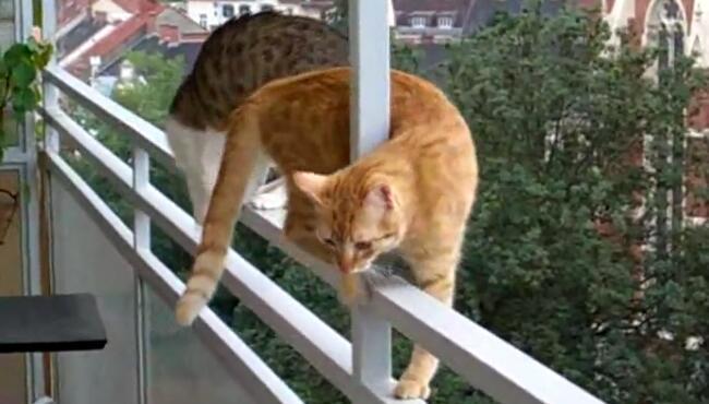 橘猫9楼栏杆走猫步,好在关键时刻我赶紧按了暂停键,不然它们就掉下去了,机智如我 17110801.jpg