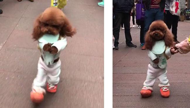 泰迪犬越来越有人的模样了,都快不会用四脚走路了 17110803.jpg