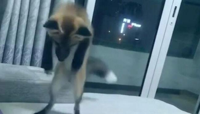 会拆家的狐狸,正在拆沙发,跟二哈兄哈士奇有一拼 QQ截图20171110085446.jpg