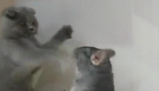 听说你很能打?谁说的?我头铁!猫何必为难猫呢 蓝猫