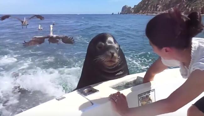 呆萌的海狮太懒了,自己都不去捕食了,靠卖萌骗吃骗喝你还是野生动物不? haishiyaoyu.jpg