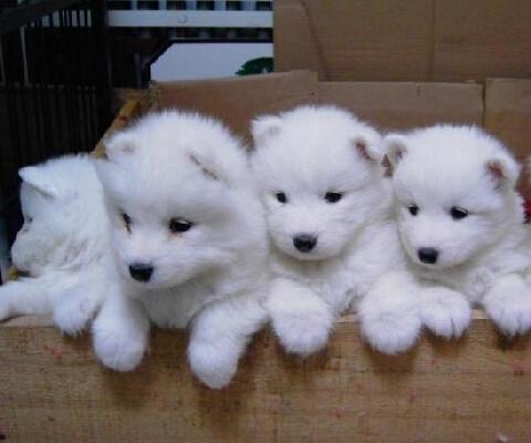 如何挑选正常的幼犬! samoyeyouquan_0.jpg