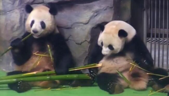 熊猫是不是都是吃竹子的时候,互相戳死的所以成了一级保护动物 熊猫,竹子