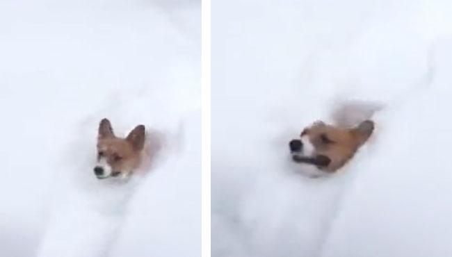 我要是见到这么厚的雪,我铁定比这些二哈玩得嗨 二哈,玩雪,哈士奇