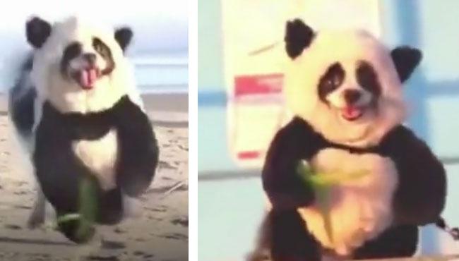跑的那叫一个欢脱,我就从没见过跑路这么利索的大熊猫 熊猫,狗狗,服装