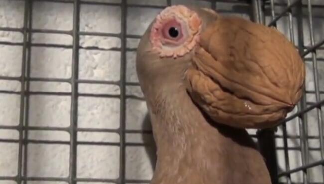 除非鸽子它张嘴,不然我绝对不信这是它的嘴巴 鸽子,核桃,核桃鸟
