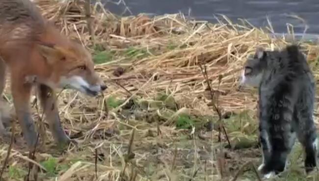 天下武功唯快不破,动物界唯一会武功的只有猫科,猫大仙大战妲己 喵咪,狐狸