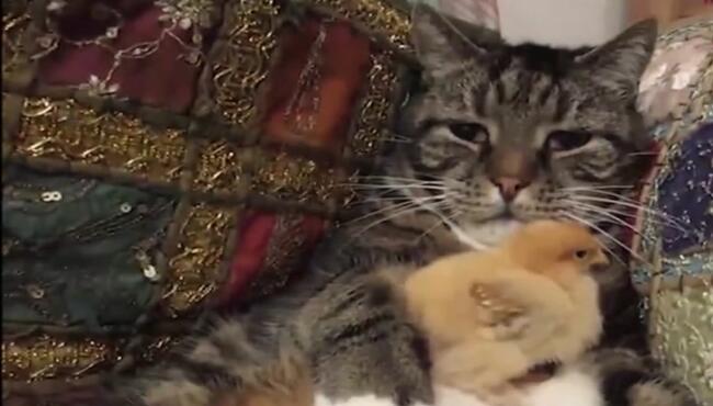 猫咪一副生无可恋样子,它的眼神中透露出一丝的哀怨看着小鸡长大 猫咪,小鸡