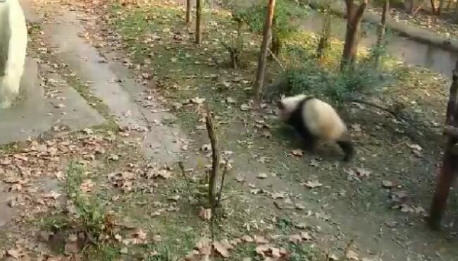"""这种召唤术,我也会,""""喽喽喽喽喽喽"""",边跑边答应,乖死个人了 熊猫,大熊猫"""
