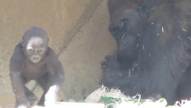 我要是有大猩猩这么强壮,不怒而威,我表情保证比他还叼 猩猩,大猩猩