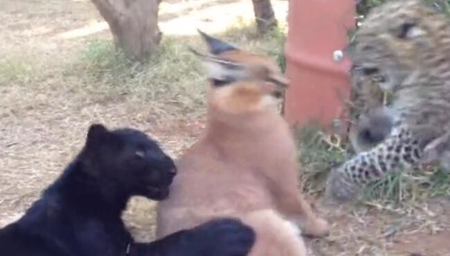 我想把我家的橘猫抱来,和他们一起愉快的玩耍! 狞猫,黑豹,花豹