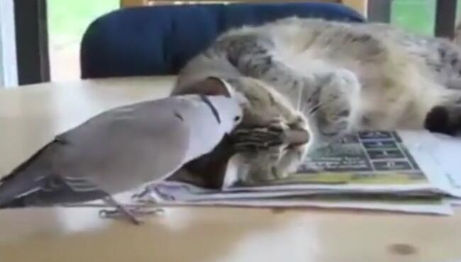 这斑鸠贼贱鸟,如果是我家的猫,分分钟把你毛全退了! 斑鸠,喵星人
