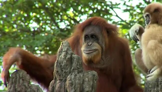 我们不和穿蓑衣的玩。这个猩猩戴个斗笠可以去·独钓寒江雪·了! 猩猩,红毛倭
