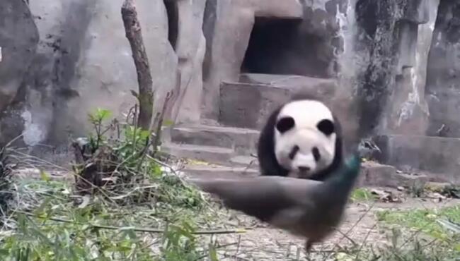 管你几级的,反正老子顶级,谁让你五彩缤纷我只有黑白 熊猫,孔雀