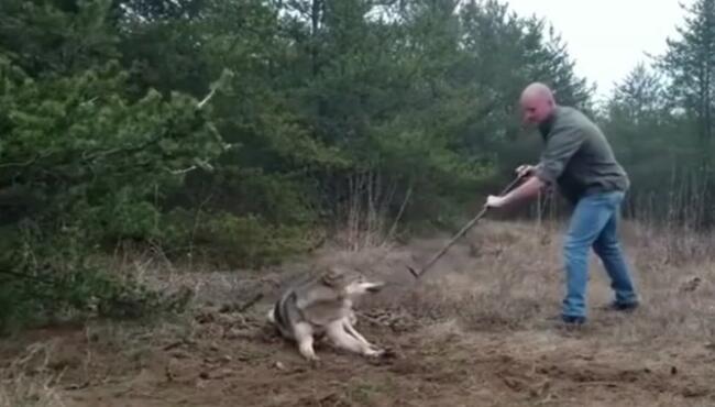 狼若回头,不是报恩,就是报仇,二哈回头,不是拆家,就是拆楼 大灰狼,救狼